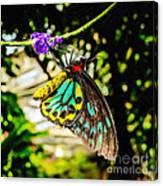 Cairns Birdwing Canvas Print