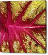 Caladium Leaf Canvas Print