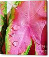 Caladium Leaf Canvas Print