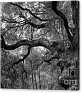 California Black Oak Tree Canvas Print