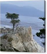 California Bonsai Canvas Print