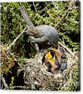 California Gnatcatcher Feeding Young Canvas Print