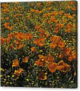 California Gold Poppies Canvas Print