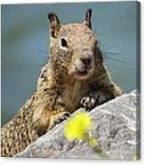 California Ground Squirrel Canvas Print