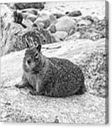 California Ground Squirrel In Black And White Canvas Print