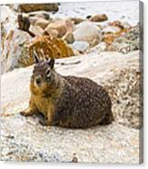 California Ground Squirrel With Sandy Nose Canvas Print