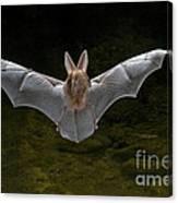 California Leaf-nosed Bat Canvas Print