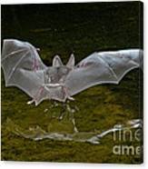 California Leaf-nosed Bat At Pond Canvas Print