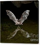 California Long-nosed Bat Flying Away Canvas Print