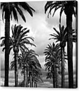 California Palms - Black And White Canvas Print