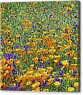 California Poppies And Desert Blubells Canvas Print