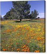 California Poppy And Eriophyllum Canvas Print
