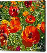 California Poppy's Canvas Print