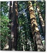 California Redwood Canvas Print