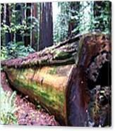 California Redwoods 2 Canvas Print