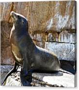 California Sea Lion Canvas Print