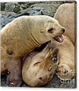 California Sea Lions Canvas Print