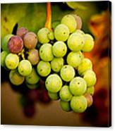 California Winery Grapes Canvas Print