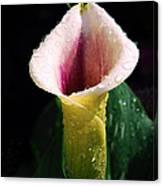 Calla Lily Droplets Canvas Print