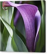 Calla Lily In Purple Ombre Canvas Print