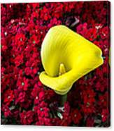 Calla Lily In Red Kalanchoe Canvas Print