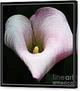 Calla Lily Canvas Print