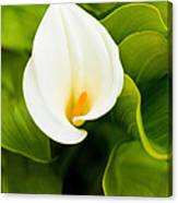 Calla Lily Plant Canvas Print