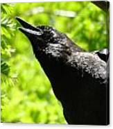 Calling Crow Canvas Print