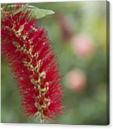 Callistemon Citrinus - Crimson Bottlebrush Canvas Print