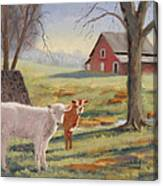Calves At The Spring House Canvas Print