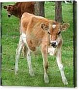 Calves Canvas Print