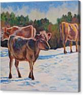 Calves In Snow Canvas Print