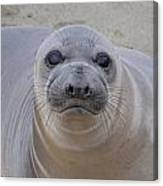 Cambria Baby Seal Canvas Print