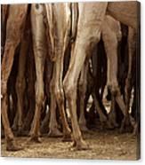 Camel Legs Canvas Print