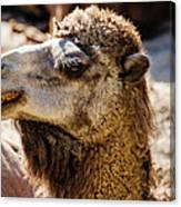 Camel Loose Lip Canvas Print