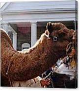 Camel Portrait Canvas Print