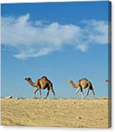 Camel Train Canvas Print