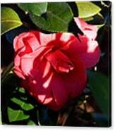 Camelia In The Shadows Canvas Print