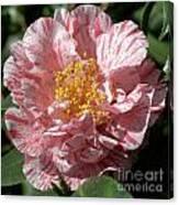 Camellia 2967 Canvas Print
