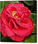 Camellia Japonica ' Dixie Knight ' Canvas Print