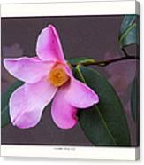 Camellia 'tulip Time' Canvas Print