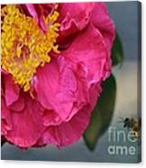 Camellia With Bee Canvas Print