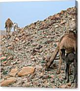 Camels At The Israel Desert -1 Canvas Print