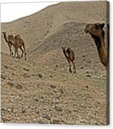 Camels At The Israel Desert -2 Canvas Print