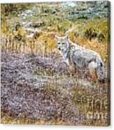 Camo Coyote Canvas Print