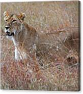 Camouflaged Female Lion In Grass Canvas Print