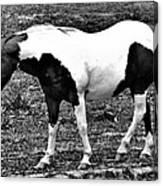 Camp Horse Canvas Print