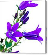 Campanula Flowers Canvas Print