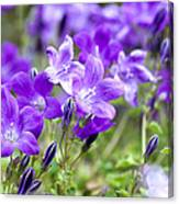 Campanula Portenschlagiana Blue Bell Flowers Canvas Print