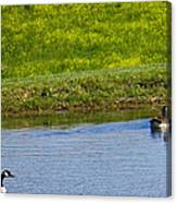 Canada Geese And Goslings Canvas Print